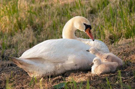 ugly duckling: Swan family