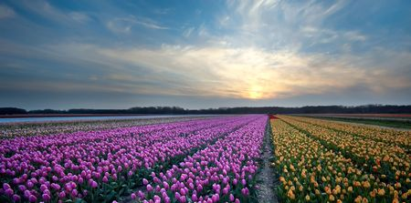 Tulips and sunset photo