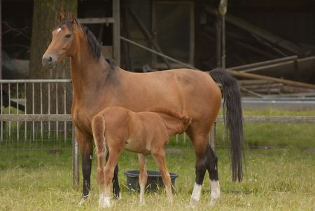 Mother and her  horse drinking milk photo