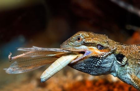 lizzard: A bearded dragon is having a snack