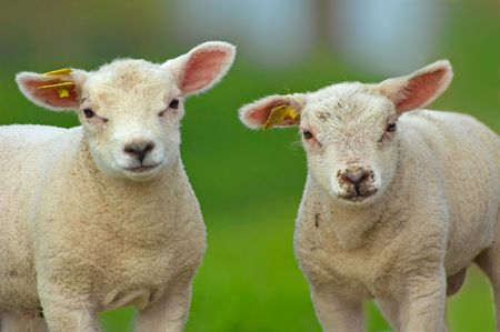 naivety: cute  sheep