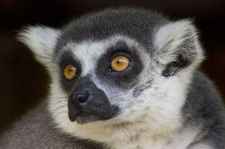 cute looking ring-tailed lemur monkey photo