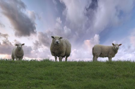 naivety: Mother sheep and her two  on top of the hill