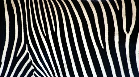 A real photo of a zebras skin photo