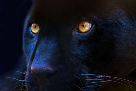 The eyes of a black panther Stock Photo - 459061
