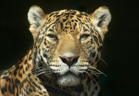 leopard fur: Leopard looking straight at the camera