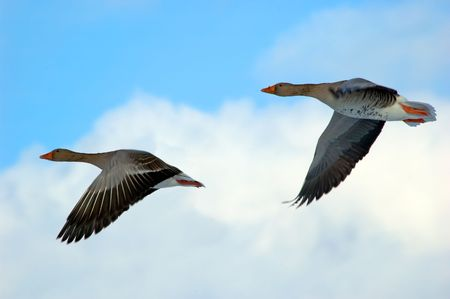 Geese in flight Stock Photo - 459074