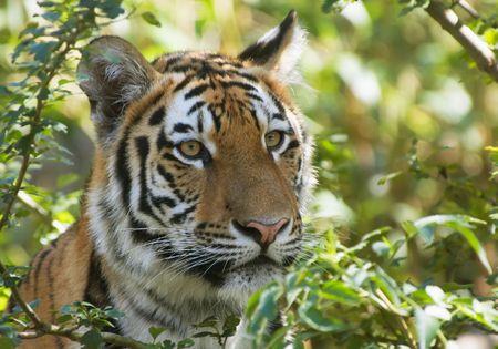 beautiful tiger in the jungle photo