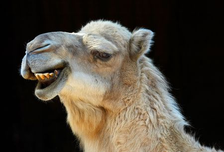 carting: camel smiling with black background