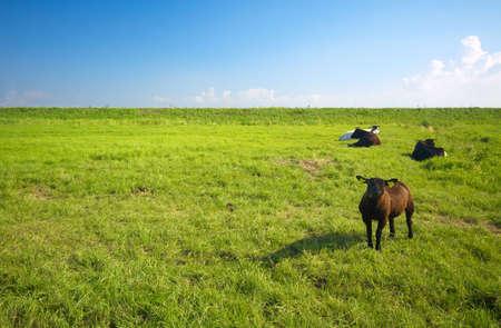 cute sheep on a farmland in summer photo