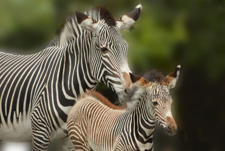 Mother and  zebra together photo
