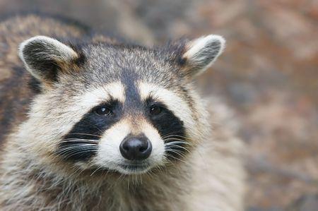 coons: cute raccoon