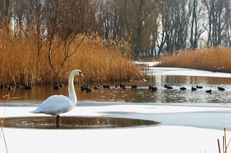 snowlandscape: Swan in a winter landscape Stock Photo
