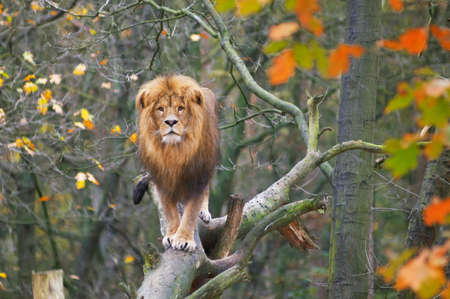 autumn cat: a unique picture of a male lion standing on a tree in autumn