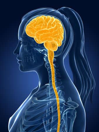 nerveux: 3d a rendu l'illustration médicale - cerveau féminin Banque d'images
