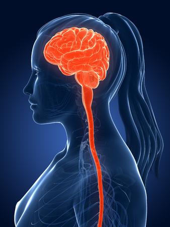 sistema nervioso central: 3d rindió la ilustración médica - cerebro femenino Foto de archivo