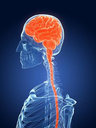3d rendered medical illustration - female brain Stock Illustration - 22579613