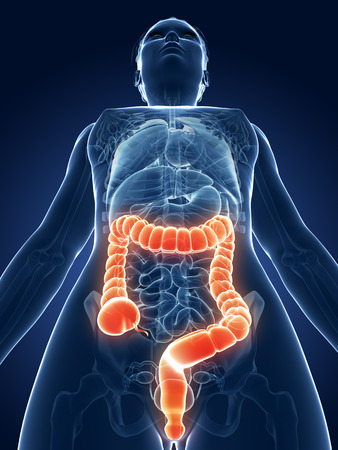 3d rendered medical illustration - female colon illustration