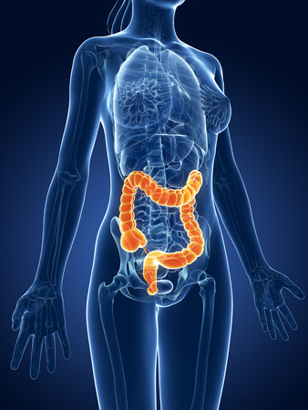 3d rendered medical illustration - female colon Stock Illustration - 22583973