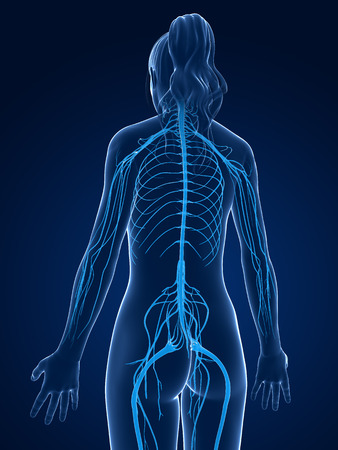 3d rendered medical illustration -female  nerve system Stock Illustration - 22584046