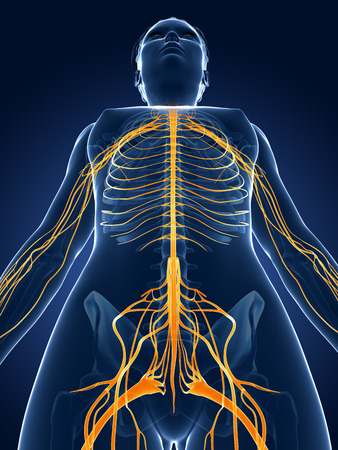 3d rendered medical illustration -female  nerve system illustration
