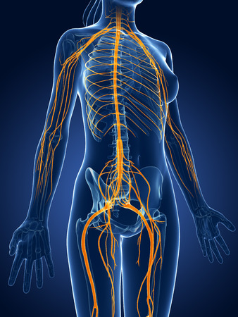 3d rendered medical illustration -female  nerve system Stock Photo
