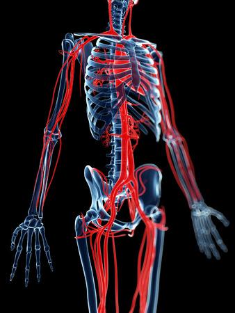 vasos sanguineos: 3d rindió la ilustración médica - los vasos sanguíneos y el esqueleto