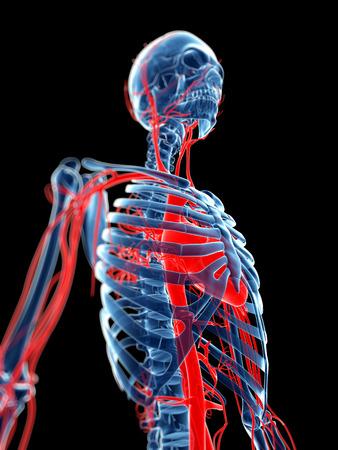 vasos sanguineos: 3d rindi� la ilustraci�n m�dica - los vasos sangu�neos y el esqueleto