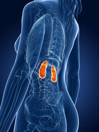 organos internos: 3d rindió la ilustración médica - riñones mujeres
