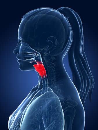 larynx: 3d rendered medical illustration - larynx