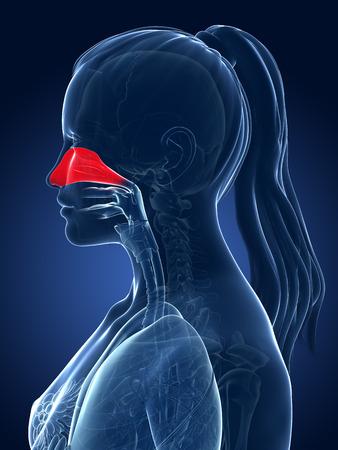 sinusitis: 3d rendered medical illustration - nasal cavity
