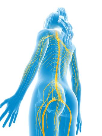 3d rendered medical illustration - female nerves Stock Illustration - 22584146