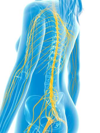 human touch: 3d rendered medical illustration - female nerves Stock Photo