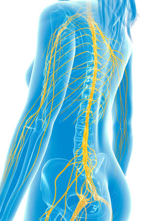 sistema nervioso central: 3d rindi� la ilustraci�n m�dica - nervios femeninos