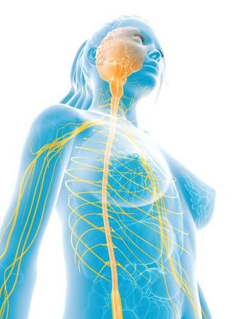 3d rendered medical illustration - female nerves Stock Illustration - 22584151