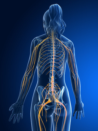sacral nerves: 3d rendered medical illustration - female nerves Stock Photo