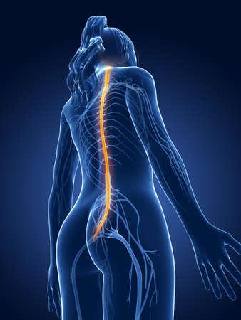 central cord: 3d rendered medical illustration - female nerves Stock Photo