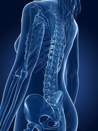 3d rendered medical illustration - female skeleton