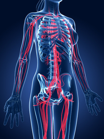 vasos sanguineos: 3d rindió la ilustración médica - los vasos sanguíneos femeninos