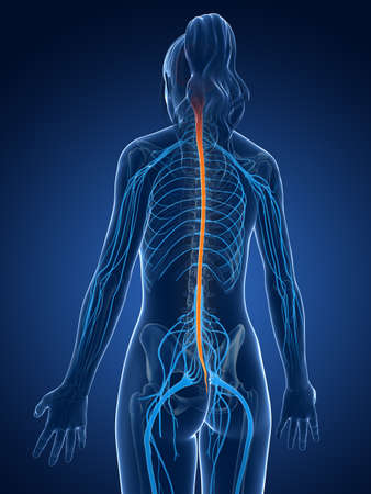 central cord: 3d rendered medical illustration - spinal cord