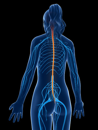 sacral nerves: 3d rendered medical illustration - spinal cord