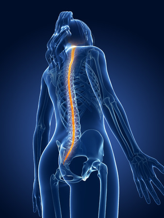 3d rendered medical illustration - spinal cord illustration