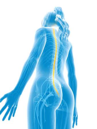 3d rendered medical illustration - spinal cord Stock Illustration - 22584246