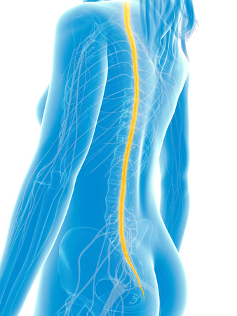 3d rendered medical illustration - spinal cord Stock Illustration - 22584249
