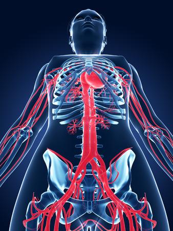 3d rendered medical illustration - female vascular system illustration