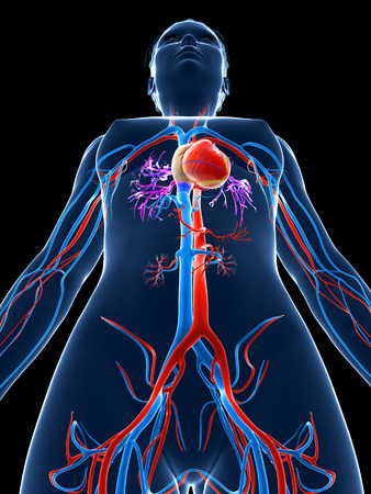 body blood: 3d rendered medical illustration - female vascular system