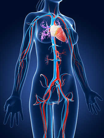 3d rendered medical illustration - female vascular system illustration