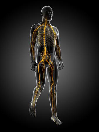nerve system: 3d rendered medical illustration - nerve system