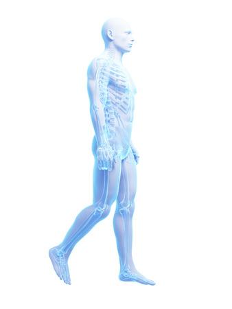 anatomy skeletal: 3d rendered medical illustration - walking guy Stock Photo