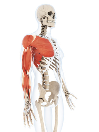 bone anatomy: 3d rendered illustration of the arm musculature